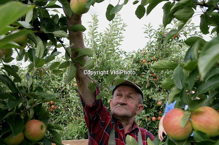 Foto: VidiPhoto..PUIFLIJK - Poolse werknemers van fruitteeltbedrijf Gebr. Van de Zandt uit Puiflijk zijn dinsdag begonnen met de voorpluk van de elstar-appel. Een voorpluk is financieel interessant omdat er op dit moment nog maar weinig nieuw geoogste appels worden aangeboden op de veilingen.