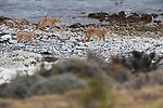 Mountain Lion (Puma concolor) mother and six month old cubs walking along lake, Sarmiento Lake, Torres del Paine National Park, Patagonia, Chile