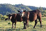 Cattle near Forestville