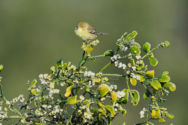 Pine Warbler (Dendroica pinus), female perched on Christmas mistletoe (Phoradendron tomentosum), Dinero, Lake Corpus Christi, South Texas, USA