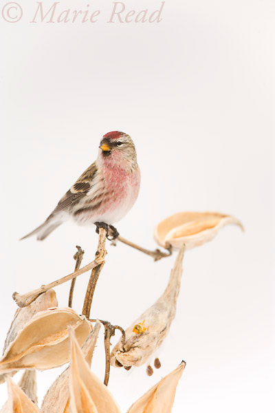 Common Redpoll (Carduelis flammea), male perched on milkweed stem in winter, New York USA