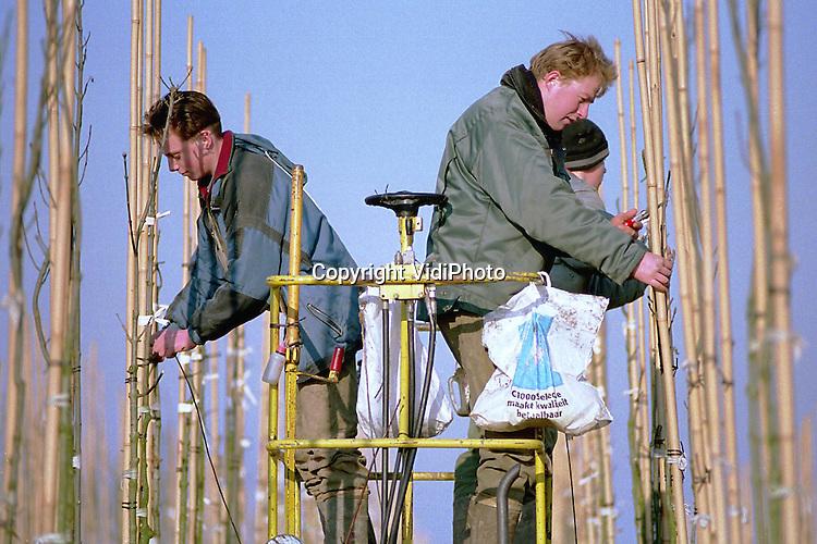 Foto: VidiPhoto..KESTEREN - Personeel van boomkweker P. Peters uit Opheusden snoeit en bindt met behulp van een snoeiplateau op hoog niveau de toppen van jonge .essen op een perceel in Kesteren. Veel meer is er op dit moment niet te doen omdat de grond bevroren is. De jonge bomen zijn bestemd voor de export naar vooral Duitsland (60 procent). Door onder meer de toegenomen binnenlandse concurrentie is de prijs voor 'dikke' bomen de laatste jaren fors gedaald..