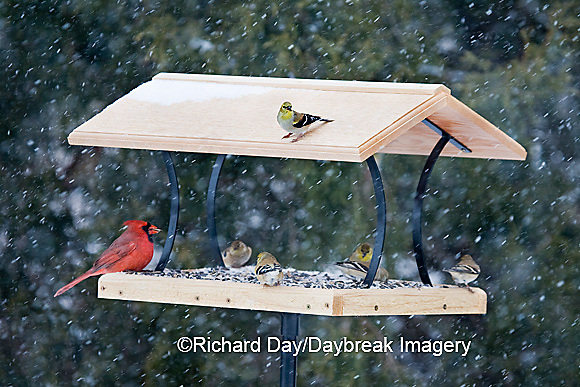 00585-036.20 Northern Cardinal, male, American Goldfinches (Carduelis tristis) on platform tray feeder, Marion Co. IL