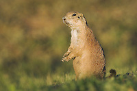 Black-tailed Prairie Dog, Cynomys ludovicianus, adult, Lubbock,Texas,September 2005