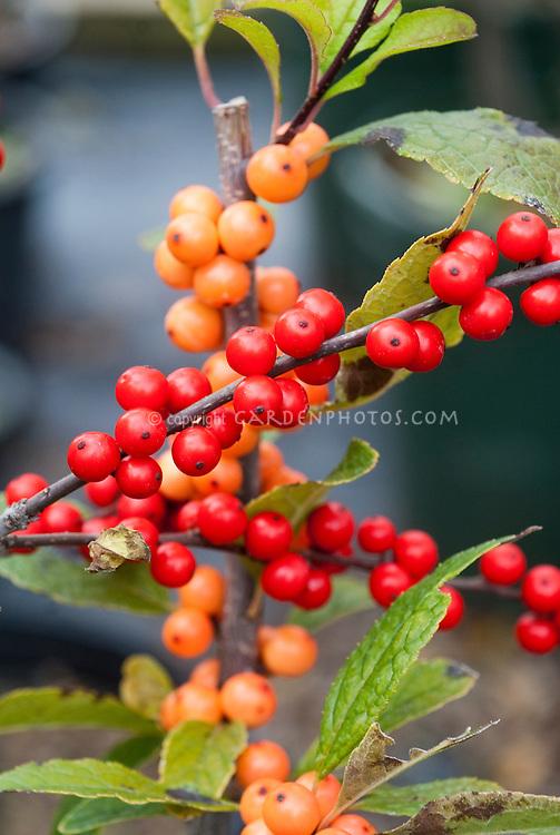 Ilex verticillata 'Winter Gold' & 'Winter Red' berries holly