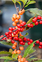 Ilex verticillata 'Winter Gold' & 'Winter Red' berries holly