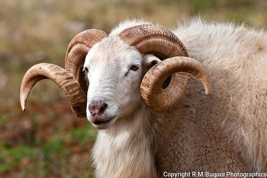 Texas Dall Ram (Corsican Ram)