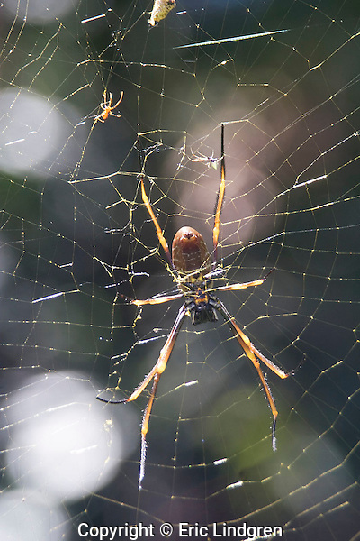 The smaller male Golden Orb Weaver (at tip of female's right hind leg) cautiously approaches the gravid female to mate with her. After mating the female frequently eats the male; confusing him with food items vibrating the web. The male's pedipalps are swollen with a sperm bundle which he has transferred from his genital opening. During mating this sperm bundle is injected into the female's genital opening; the male then scurries away. The beautiful golden colour of the web filaments gives the species its name. Above and to the left is a second species of spider, scavenging on food on the Orb Weaver's web = commensal behaviour.// Golden Orb Weaver Spider - Nephilidae: Nephila ?plumipes.  Female body to 25mm diameter when full of eggs, leg-span to 200mm; male body to 6mm diameter; legspan to 25mm; Guy-lines for the 60-100cm diameter web may reach to 5m or more from the orb; and are often multi-stranded; and of a deep iridescent golden colour; Widespread in warmer-climate areas of Australia; Asia; Africa; America.   //Eric Lindgren//