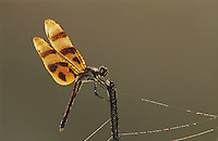 Halloween Pennant, Celithemis eponina, male with dew, Welder Wildlife Refuge, Sinton, Texas, USA