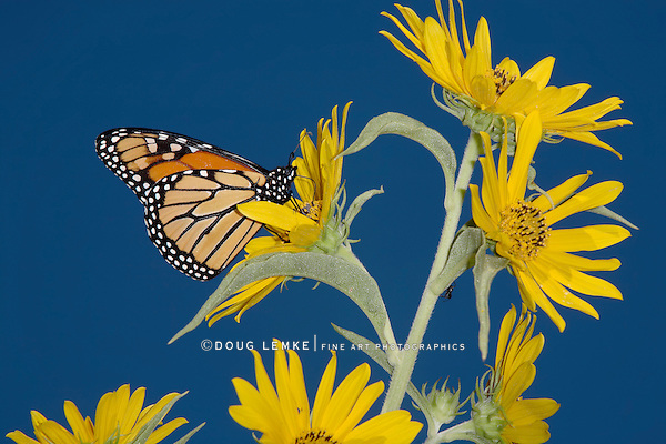 A Monarch Butterfly On A Yellow Compass Flowers With A Deep Blue Sky Background,  Danaus plexippus