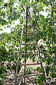 A traditional orchard ladder used here for picking cherries.