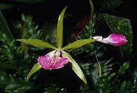 Brassocattleya Binosa 'Kirk', AM/AOS, orchid primary hybrid of Brassavola nodosa x Cattleya bicolor, 1950, spicy fragrance