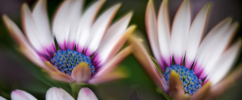 Close up of Osteospermun flowers. Oregon
