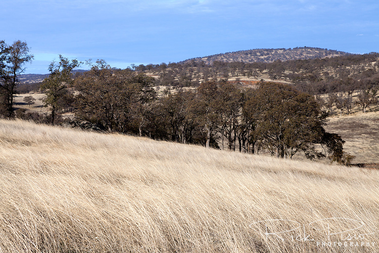 Oak trees and grasses in the California foothills.
