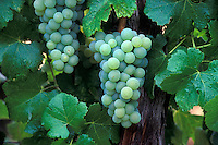 A cluster of SEMILLON WINE GRAPES is ripe and ready for harvest