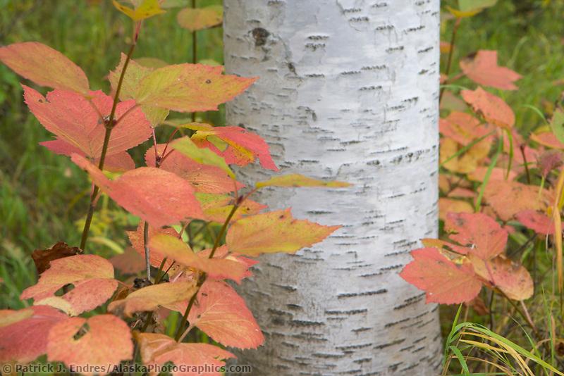 Alaska Paper birch tree, Highbush cranberry, boreal forest, Fairbanks, Alaska