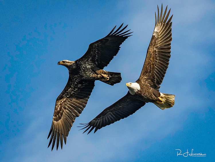 December 3, 2017 / American Bald Eagles at Connowingo Dam in Maryland / Photo by Bob Laramie