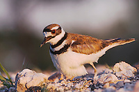 Killdeer, Charadrius vociferus, adult on nest, Willacy County, Rio Grande Valley, Texas, USA, June 2006