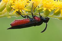 Poison Ivy Sawfly; Arge humeralis; on goldenrod; PA, Philadelphia, Morris Arboretum