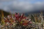 Alpine Bearberry (Arctostaphylos alpina), Dovrefjell National Park, Norway