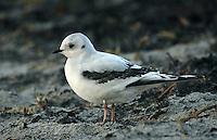 Ross's Gull - Rhodostethia rosea - Juvenile 1st winter