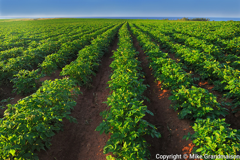 Potato field and red soil<br /> East Point<br /> Prince Edward Island<br /> Canada