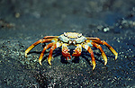 Sally Lightfoot Crab, Grapsus graspus, standing on rocks, red and yellow colours