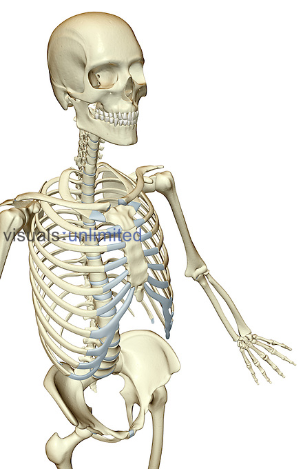 A superior anterolateral view (right side) of the bones of the upper body. Royalty Free