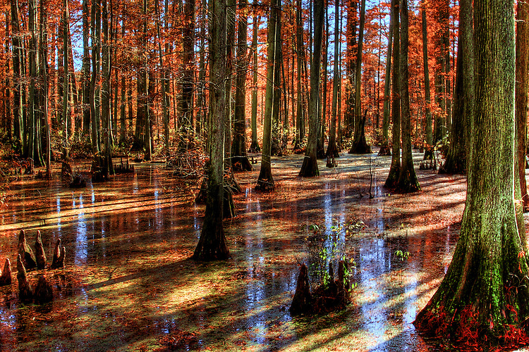 A swamp with tall trees and reflections