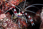 Great Barrier Reef, Australia; a peppermint cleaner shrimp forages for food on the coral reef