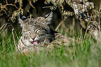 Wild Bobcat (Lynx rufus) in Central California's oak woodlands grooming/cleaning it's fur.  December.  (Completely wild, non-captive cat.)