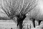 Europa, DEU, Deutschland, Nordrhein Westfalen, NRW, Rheinland, Niederrhein, Xanten, Naturschutzgebiet Xantener Altrhein, Bislicher Insel, Baeume, Typische Kopfweiden, , Kategorien und Themen, Natur, Umwelt, Landschaft, Landschaftsfotos, Landschaftsfotografie, Landschaftsfoto, <br /> <br /> <br /> [Fuer die Nutzung gelten die jeweils gueltigen Allgemeinen Liefer-und Geschaeftsbedingungen. Nutzung nur gegen Verwendungsmeldung und Nachweis. Download der AGB unter http://www.image-box.com oder werden auf Anfrage zugesendet. Freigabe ist vorher erforderlich. Jede Nutzung des Fotos ist honorarpflichtig gemaess derzeit gueltiger MFM Liste - Kontakt, Uwe Schmid-Fotografie, Duisburg, Tel. (+49).2065.677997, archiv@image-box.com, www.image-box.com]