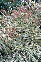 Miscanthus sinensis 'Variegatus' in flower, ornamental grass