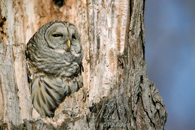 Barred Owl (Strix varia varia)