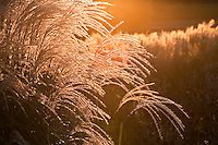 Grasses - Backlit
