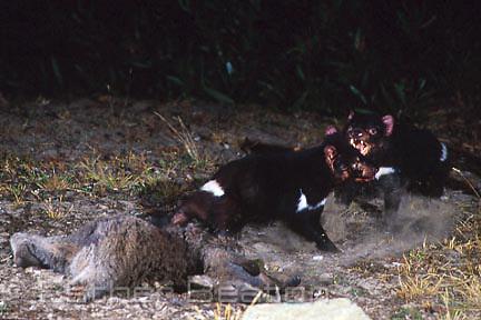 Tasmanian Devils (Sarcophilus harrisii) fighting over kangaroo carcass at night. Narawntapu National Park, northern Tasmania.