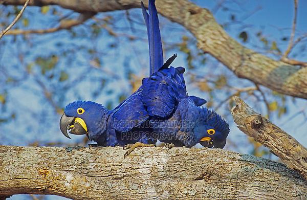 Hyacinth Macaws (Anodorhynchus hyacinthinus), pair mating, Pantanal, Brazil, South America