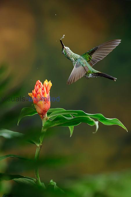 Green-crowned Brilliant feeding on nectar from a Costus flower (Heliodoxa jacula), Costa Rica