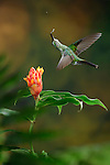 Green-crowned Brilliant feeding on nectar from a Costus flower (Heliodoxa jacula), Costa Rica