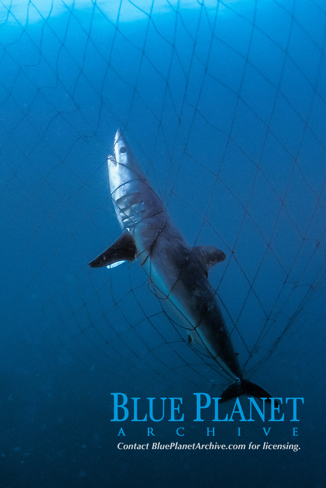 Shortfin mako shark, Isurus oxyrinchus, killed in offshore gill net, Sea of Cortez, Mexico, Pacific Ocean