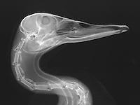 X-Ray of a mallard duck head. mallard duck (Anas platyrhynchos).