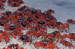 Red crabs dipping which activates mating ritual .Gecarcoidea natalis