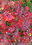 New York, USA. Fall foliage arrives at North Shore of Long Island, with bright red leaves and clusters of small berries on plants.