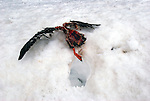 A Duck Carcass left in the snow by a Bird of Prey. The force of the hit is evident by the dent in the snowbank.