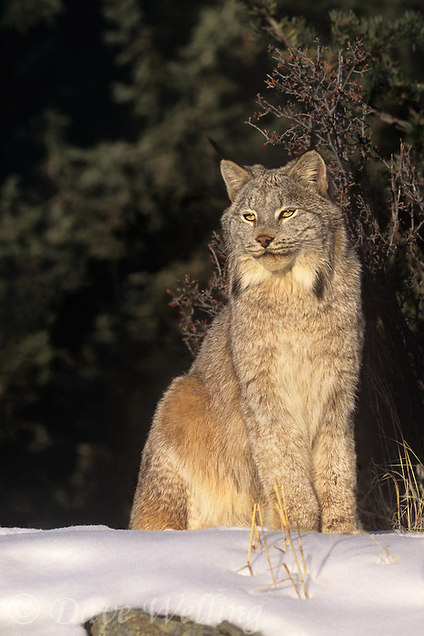 657146167 a captive canadian lynx felis lynx sits in a snowbank in central montana this species is endangered in the wild