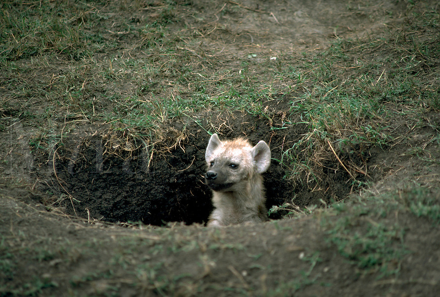 African, wild animal. Close up view of a jackal as it peeks its head from inside a hole in the ground or burrow, scouting the terrain around him for potential prey. Masai Mara, Kenya.
