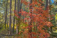 Vine maple tree in ponderosa pine forest, Camp Sherman, Oregon