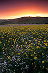 Sunset over green field filled with wildflowers in spring, Alhambra Valley, Contra Costa, California