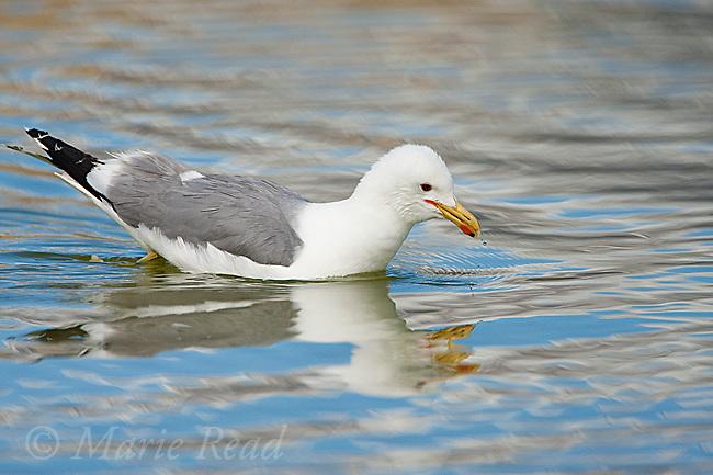 California Gull (Larus californicus) foraging for brine shrimp while swimming, Mono Lake, California, USA
