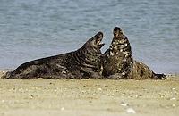 Kegelrobbe, Kegel-Robbe, Robbe, Halichoerus grypus, gray seal